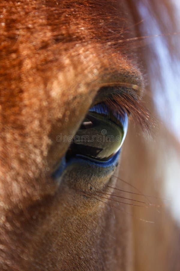 Die Shetlandinseln-Pferdeauge stockfotos