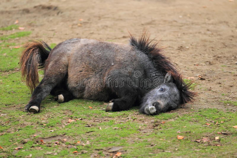 Die Shetlandinseln-Pony stockfotografie