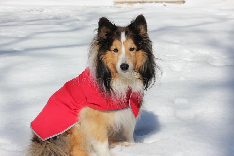 Die Shetlandinseln-Schäferhund im Schnee stockfotografie