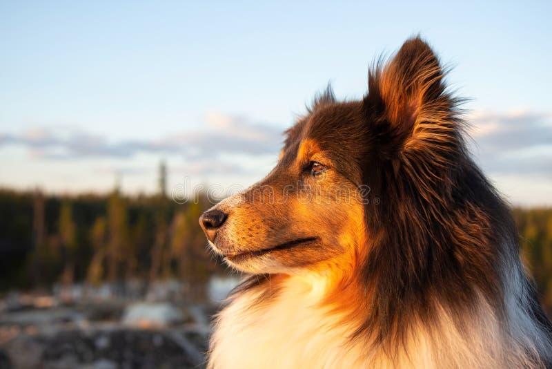 Die Shetlandinseln-Schäferhund im Sommer bei Sonnenuntergang lizenzfreie stockbilder