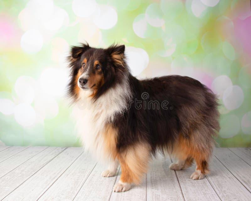 Die Shetlandinseln-Schäferhund im Studio-Porträt stockfotografie