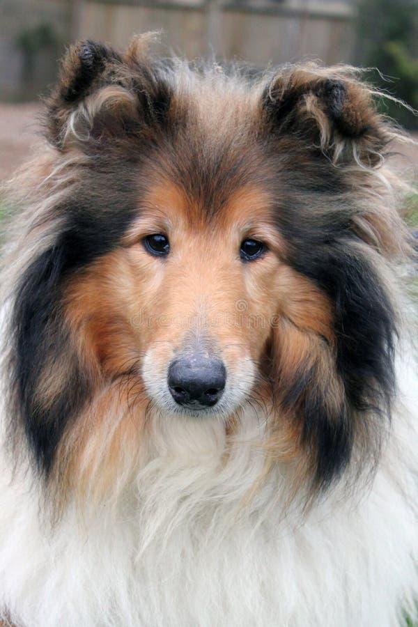 Die Shetlandinseln-Schäferhundporträt lizenzfreies stockfoto