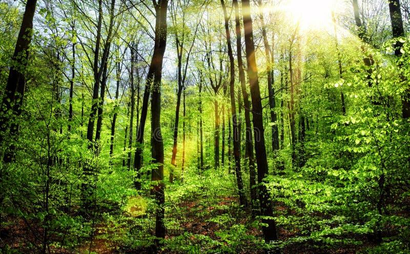 Die Sonne, die durch das frische Laub des Frühlinges scheint lizenzfreie stockfotografie