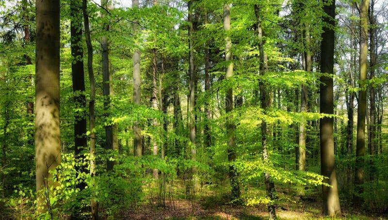 Die Frühlingssonne, die in den Wald scheint lizenzfreies stockbild