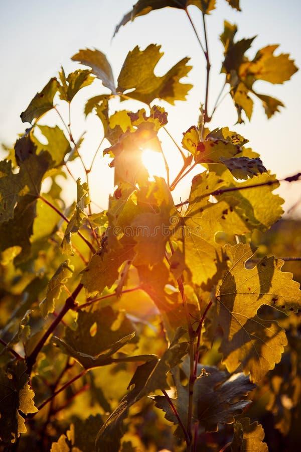 Die Sonne, die durch den Weinstock scheint lizenzfreies stockfoto