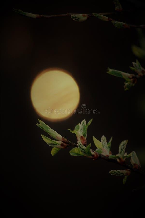 Die Sonne und der Kirschbaum stockfoto