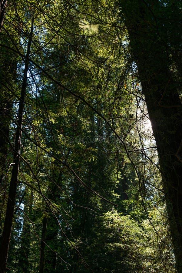 Die Sonne, die zwischen die Niederlassungen der Bäume in der Allee des Giants, Kalifornien, USA überschreitet stockfotos