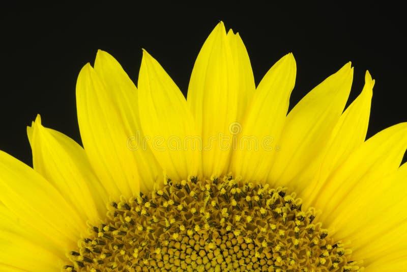 Die Sonnenblume auf dem schwarzen Hintergrund stockfotografie