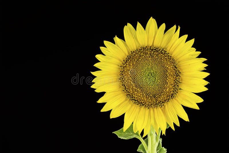 Die Sonnenblume auf dem schwarzen Hintergrund lizenzfreie stockfotografie