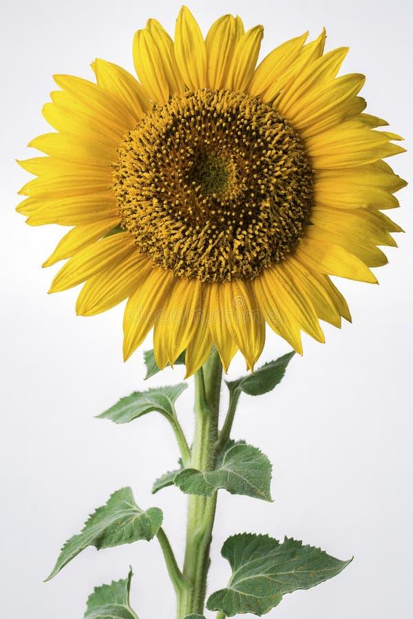 Die Sonnenblume auf dem weißen Hintergrund stockbilder