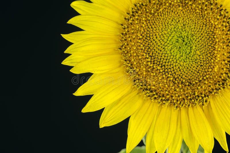 Die Sonnenblume im Studio stockbild