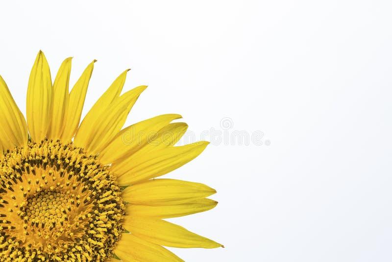 Die Sonnenblume im Studioschwarzhintergrund stockfoto