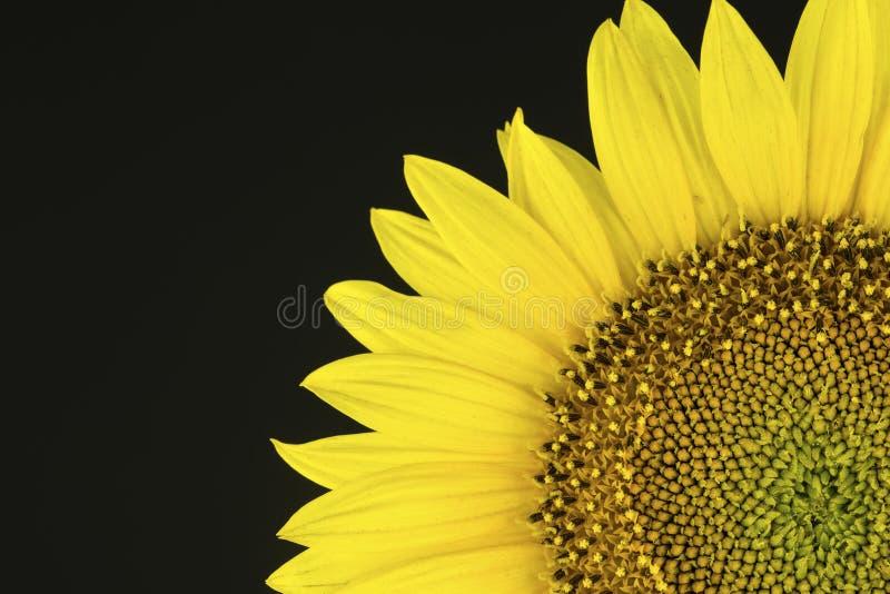 Die Sonnenblume im Studioschwarzhintergrund lizenzfreie stockfotos
