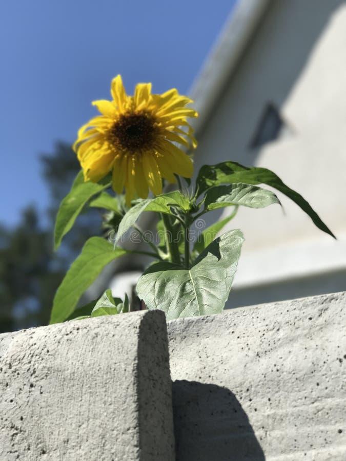 Die Sonnenblume ist ein Symbol von Ukraine und ist an den Häusern in Kiew oder in Kyiv populär lizenzfreies stockfoto