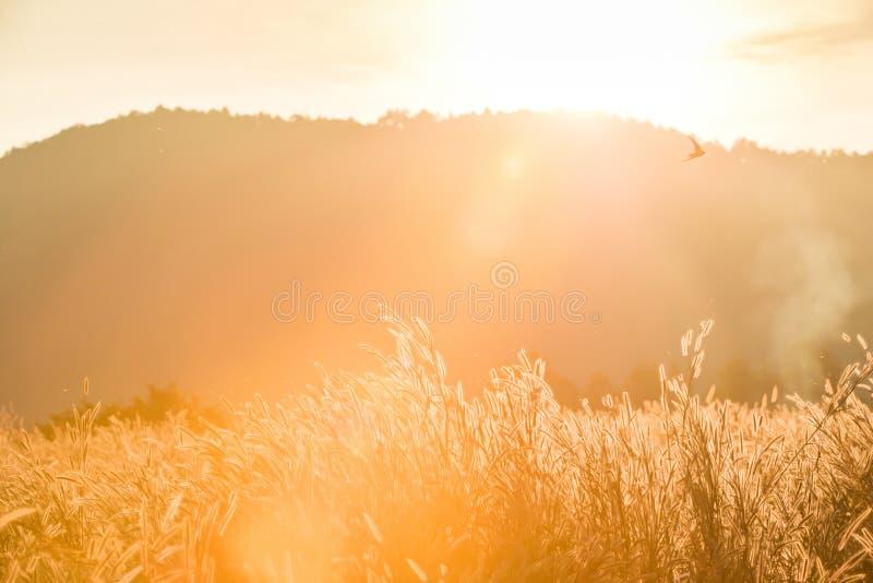 Die Sonneneinstellung durch Gebirgszug auf Wiese Transparentes wildes Gras der Kunst in voller Blüte, Scheunenschwalbenfliegen im stockbilder