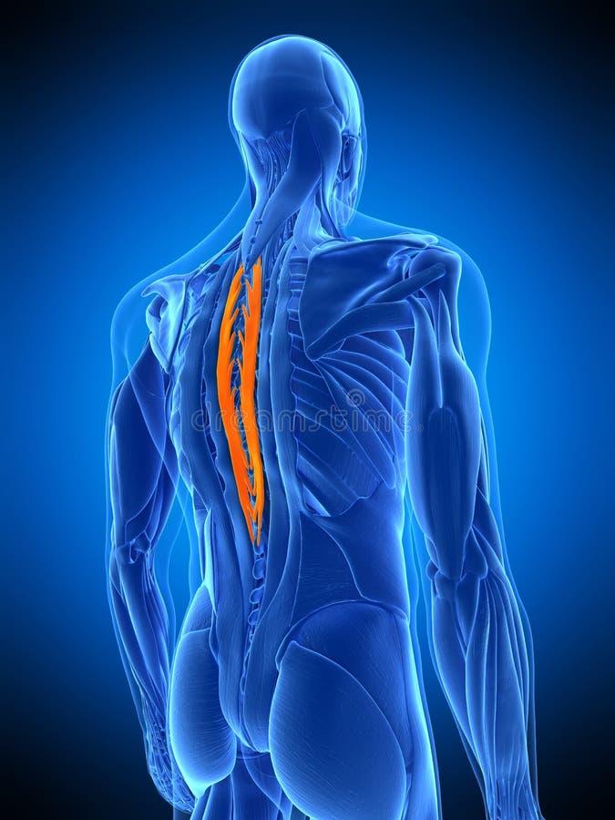 Die spinalis Brust- vektor abbildung