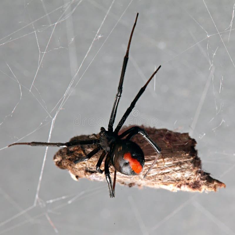 Die Spinne, die mit Opfer rot-ist, verschob in seinem Netz lizenzfreies stockbild