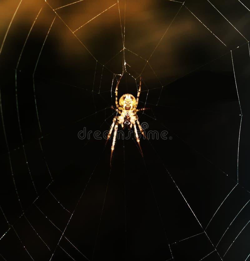 Die Spinne, die eine Falle vorbereitet stockfoto