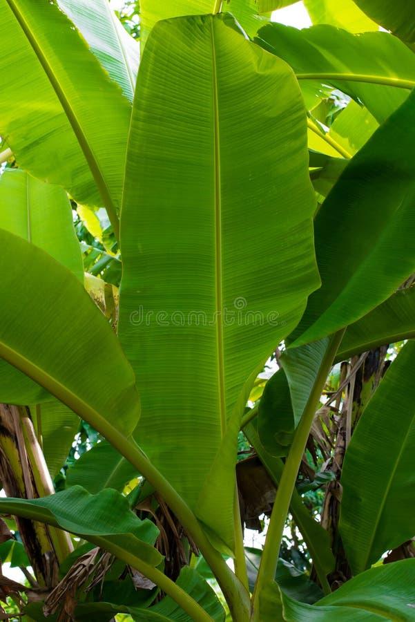 Die Spitze des Bananenblattes lizenzfreie stockfotos