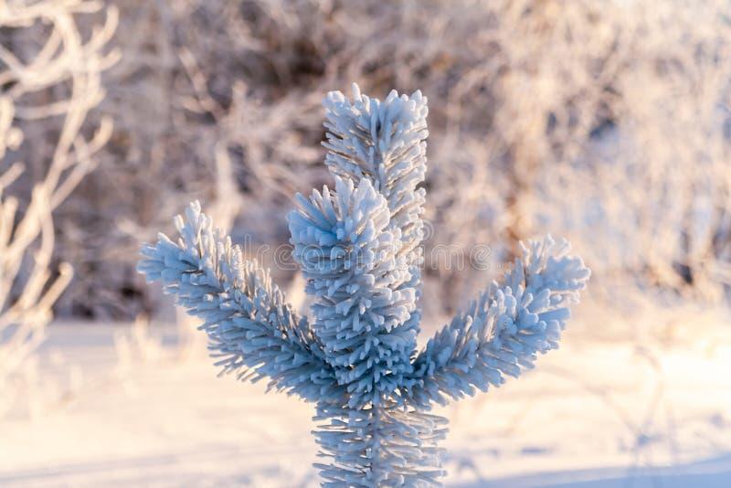 Die Spitze einer jungen Kiefers bedeckt mit Frost an einem eisigen Wintertag stockfoto