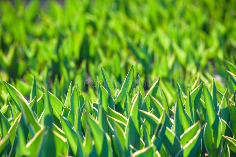 Die Sprösslinge von Tulpen, Frühling blüht, der botanische Garten, um eine Wiese von Tulpen, die Niederlande zu wachsen lizenzfreies stockbild