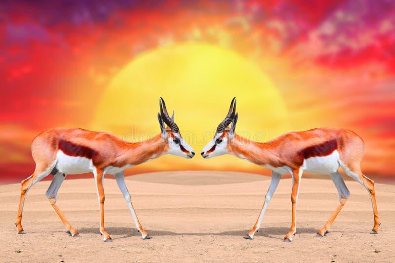 Die Springbock-Antilope stockfotos
