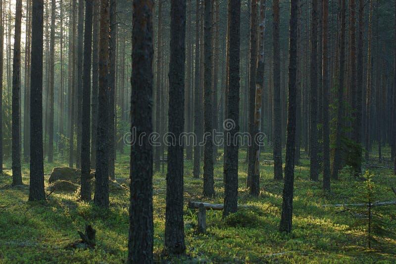 Die Stämme des hohen Baums werden durch die Morgensonne im Sommer, ein wirklicher Kiefernwald beleuchtet stockfotografie