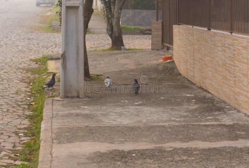 Die Stadttauben auf dem Fußgängerbürgersteig 02 stockbild