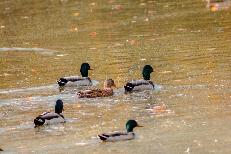 Die Stockenten, die in einem Teich am Flussufer schwimmen, parken stockbild