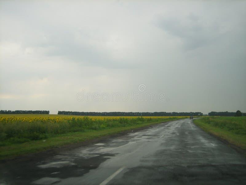Die Straße durch das Sonnenblumenfeld am Abend nach dem Regen stockfotos