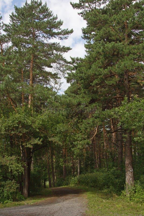 Die Straße ist in einem Kiefernwald lizenzfreie stockbilder