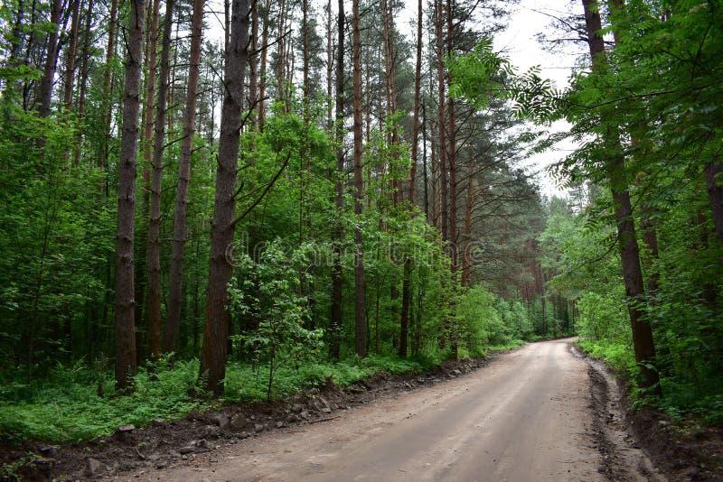 Die Straße ist in einem malerischen dichten Kiefernwald lizenzfreie stockfotos