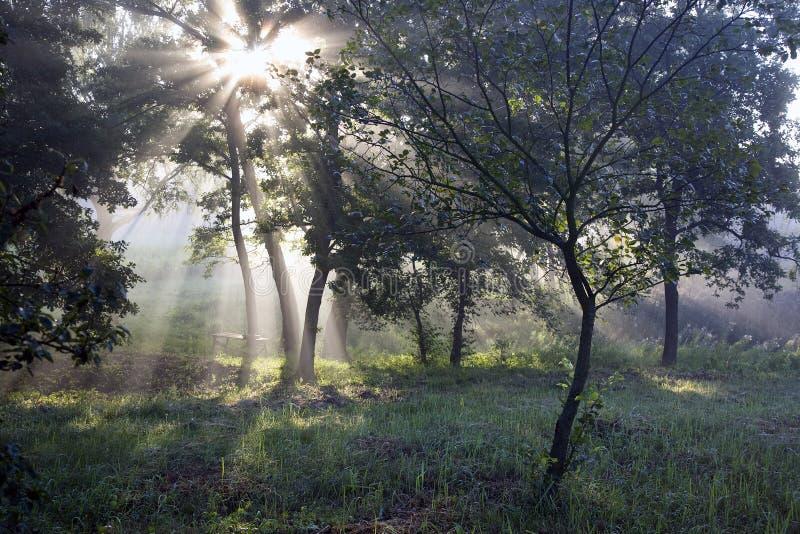 Die Strahlen der Sonne im Wald stockbilder