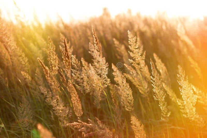 Die Strahlen der untergehenden Sonne auf hohem Gras stockfotos