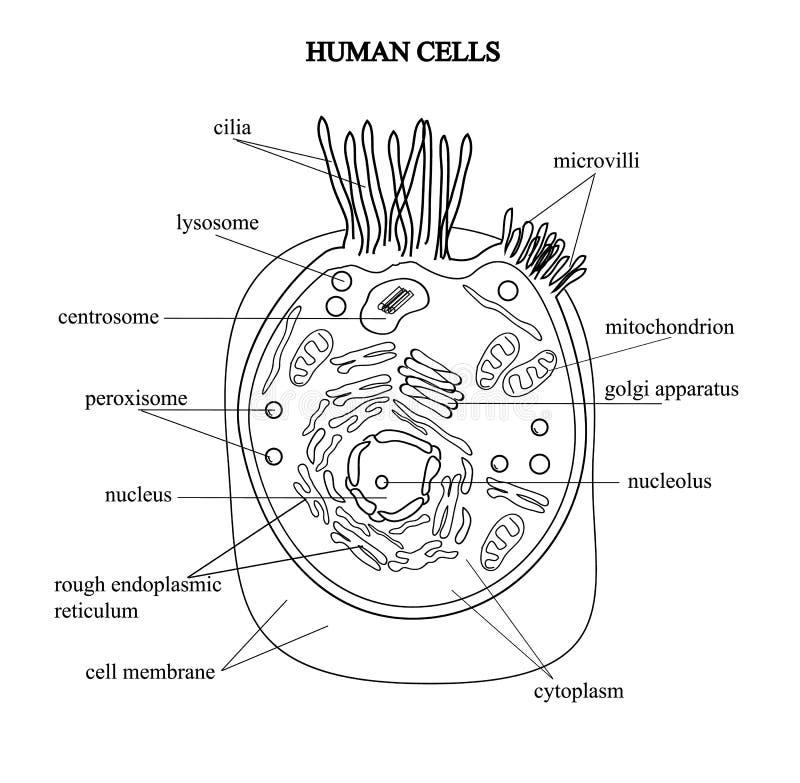 Beste Die Zelle Anatomie Fotos - Menschliche Anatomie Bilder ...