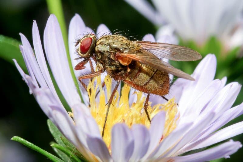 Die Stubenfliege auf Blume lizenzfreie stockfotos
