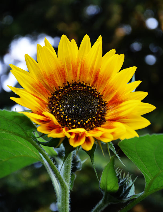 die Sun-Blume stockfotos