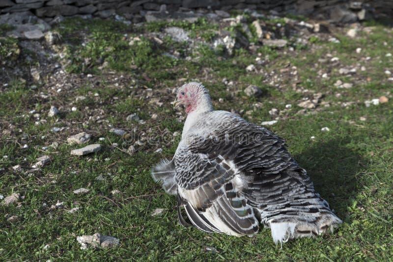 Die Türkei, die auf den Gras Vogel legt lizenzfreie stockbilder