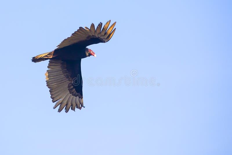 Die Türkei-Geier im Flug, auf einem blauen Himmel lizenzfreie stockfotografie