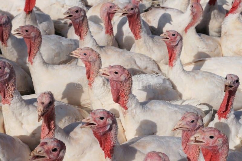 Die Türkei-Menge lizenzfreies stockbild