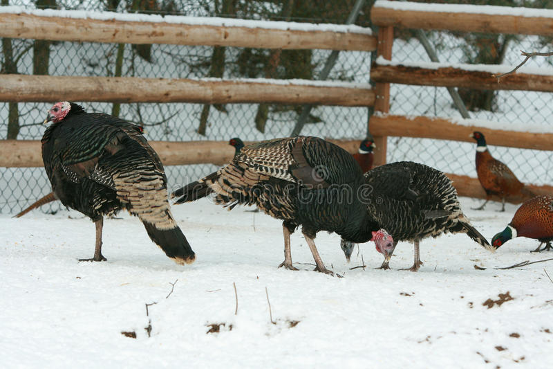 Die Türkei mit Fasan auf dem Hof im Winter lizenzfreies stockbild