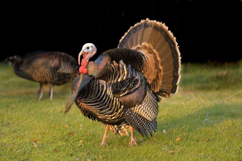 Die Türkei Tom strutting stockfotos