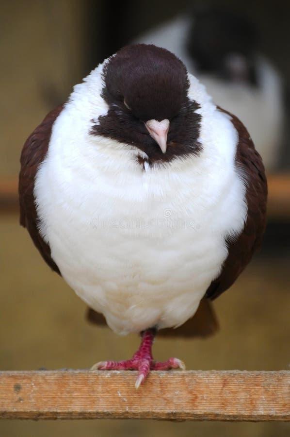 Die Taube stockfotos