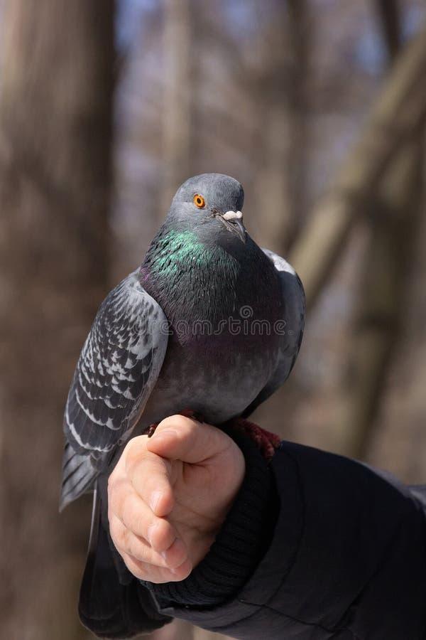 Die Taube auf der Hand lizenzfreie stockfotos