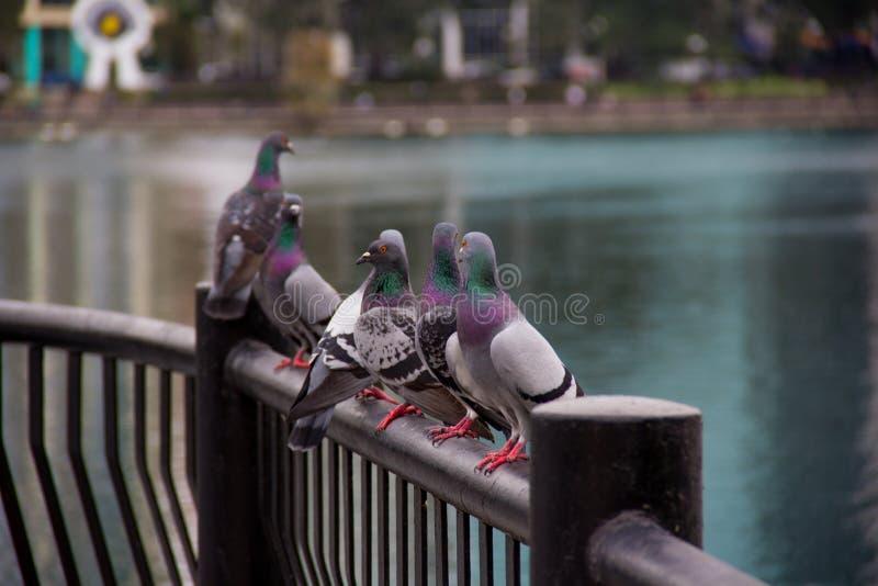 Die Tauben stockfotografie