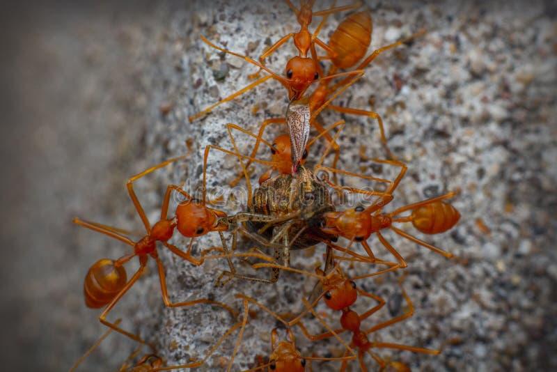 Die Teamwork der Ameise stockfotografie