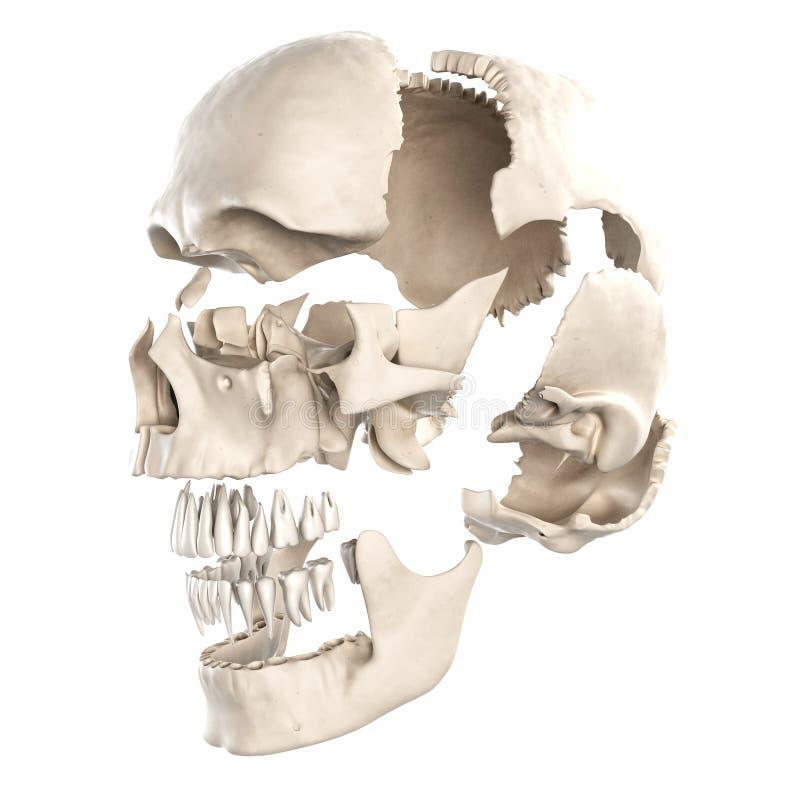 Die Teile des menschlichen Schädels stock abbildung