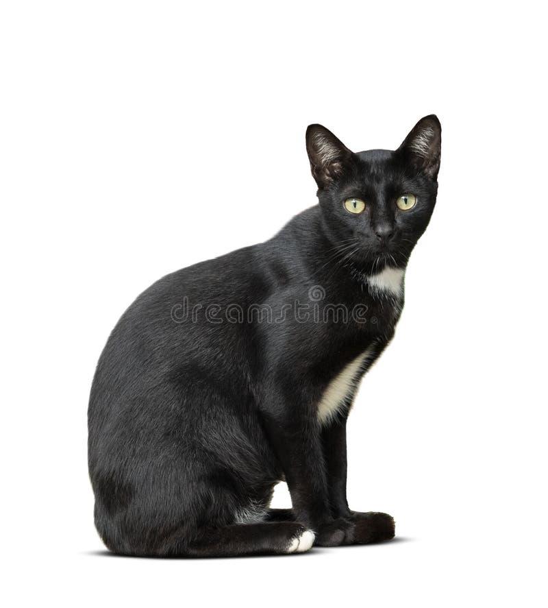 Die thailändische inländische schwarze Katze, die auf Boden sitzt, lokalisierte weißes backgrou stockfotografie