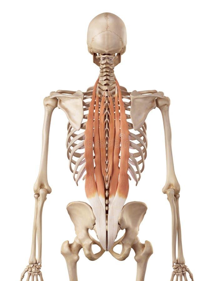 Die tiefe Rückenmuskulatur stock abbildung. Illustration von muskeln ...