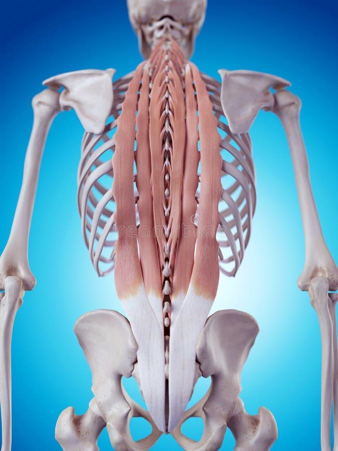 Die tiefe Rückenmuskulatur stock abbildung. Illustration von ...